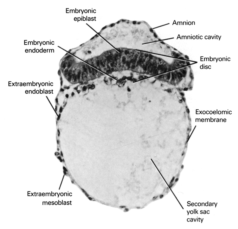 amnion, amniotic cavity, embryonic disc, embryonic endoderm, epiblast, exocoelomic (Heuser's) membrane, extra-embryonic endoderm, extra-embryonic mesoblast, secondary umbilical vesicle cavity