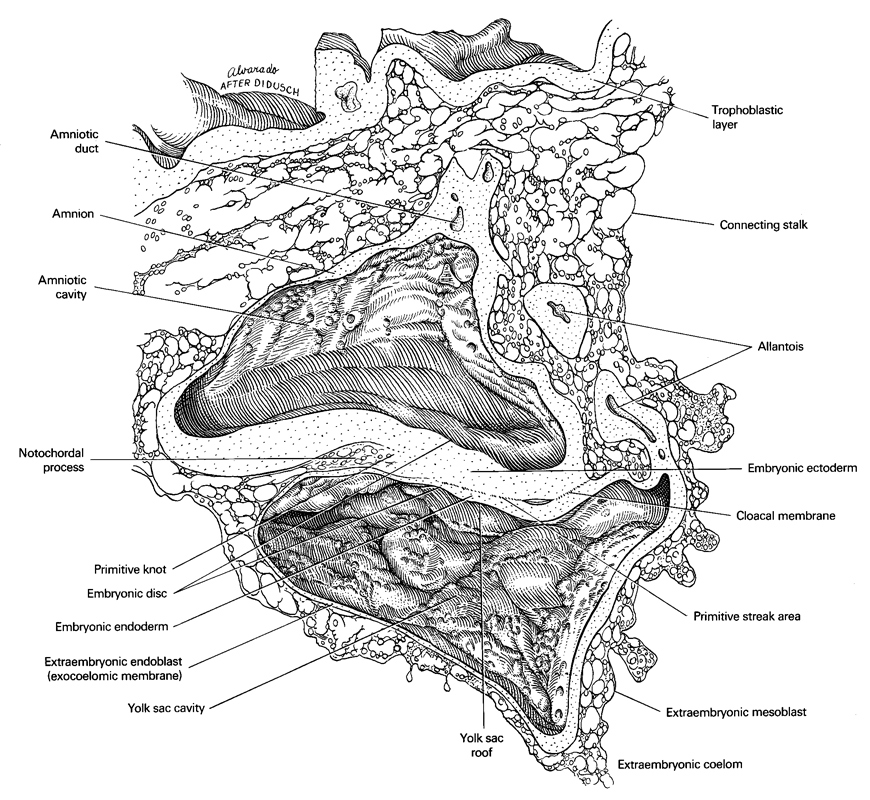 allantois, amnion, amniotic cavity, amniotic duct, cloacal membrane, connecting stalk, embryonic disc, embryonic ectoderm, embryonic endoderm, extra-embryonic coelom, extra-embryonic endoblast (exocoelomic membrane), extra-embryonic mesoblast, notochordal process, primitive node, primitive streak area, trophoblastic layer, umbilical vesicle cavity, umbilical vesicle roof
