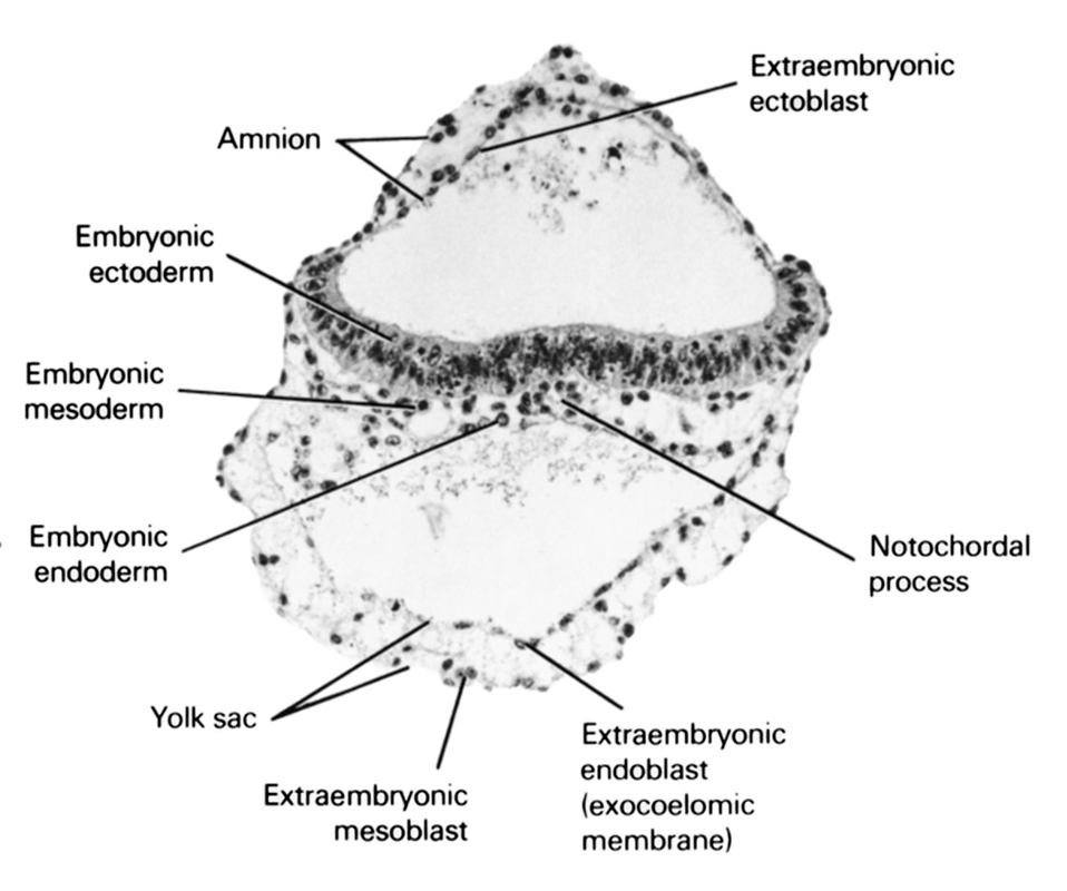 amnion, embryonic ectoderm, embryonic endoderm, embryonic mesoderm, extra-embryonic coelom, extra-embryonic ectoblast, extra-embryonic endoblast, extra-embryonic mesoblast, notochordal process, umbilical vesicle