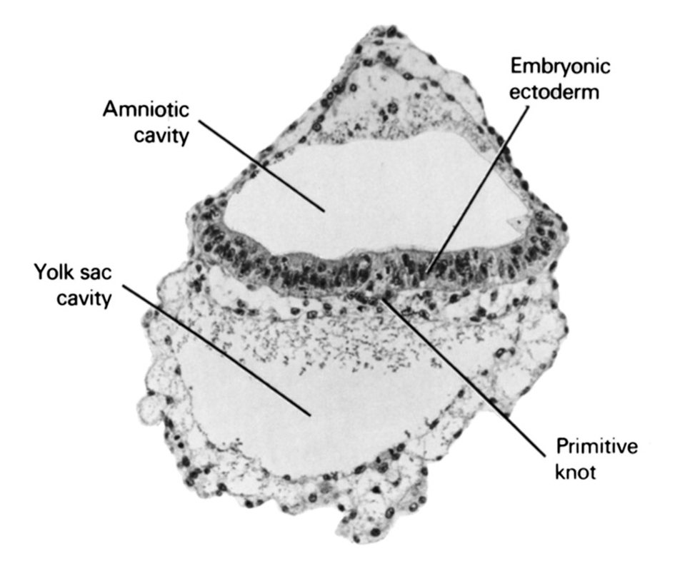 amniotic cavity, embryonic ectoderm, primitive node, umbilical vesicle cavity