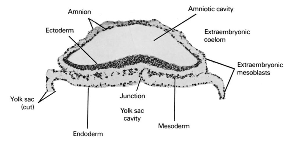 amnion, amniotic cavity, cut edge of umbilical vesicle, ectoderm, endoderm, extra-embryonic coelom, extra-embryonic mesoblast, mesoderm, umbilical vesicle cavity