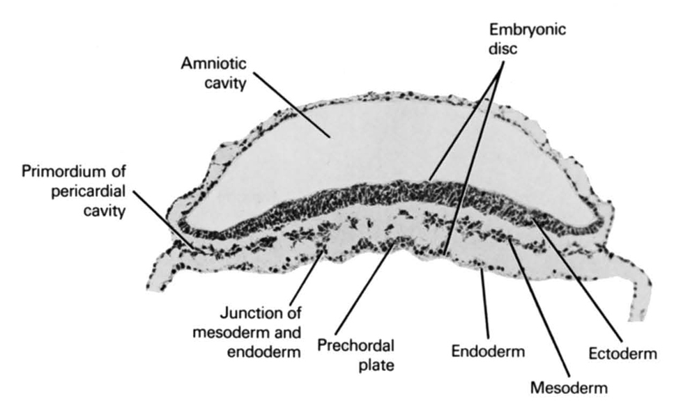 amniotic cavity, ectoderm, embryonic disc, endoderm, junction of mesoderm and endoderm, mesoderm, prechordal plate, primordial pericardial cavity