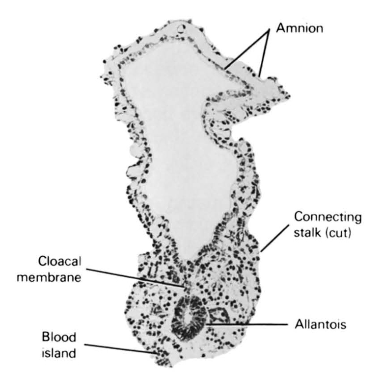 allantois, amnion, blood island, cloacal membrane, connecting stalk