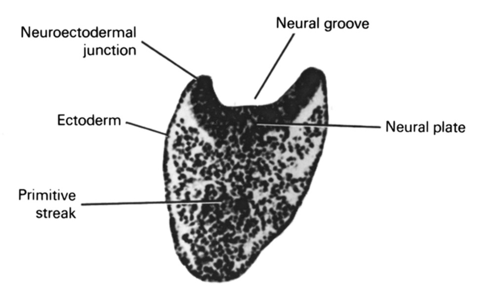 ectoderm, junction of neural ectoderm and surface ectoderm, neural groove, neural plate, primitive streak