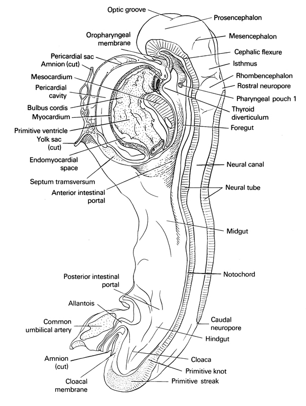 allantois, bulbis cordis, caudal intestinal portal, caudal neuropore, cephalic flexure, cephalic intestinal portal, cephalic neuropore, cloaca, cloacal membrane, common umbilical artery, cut edge of amnion, cut edge of umbilical vesicle, epimyocardial space, foregut, hindgut, isthmus, mesencephalic (cephalic) flexure, mesencephalon, mesocardium, midgut, myocardium, neural canal, neural tube, notochord, optic groove, oropharyngeal membrane, pericardial cavity, pericardial sac, pharyngeal pouch 1, primitive node, primitive streak, primitive ventricle of heart, prosencephalon (forebrain), rhombencephalon (hindbrain), septum transversum, thyroid diverticulum