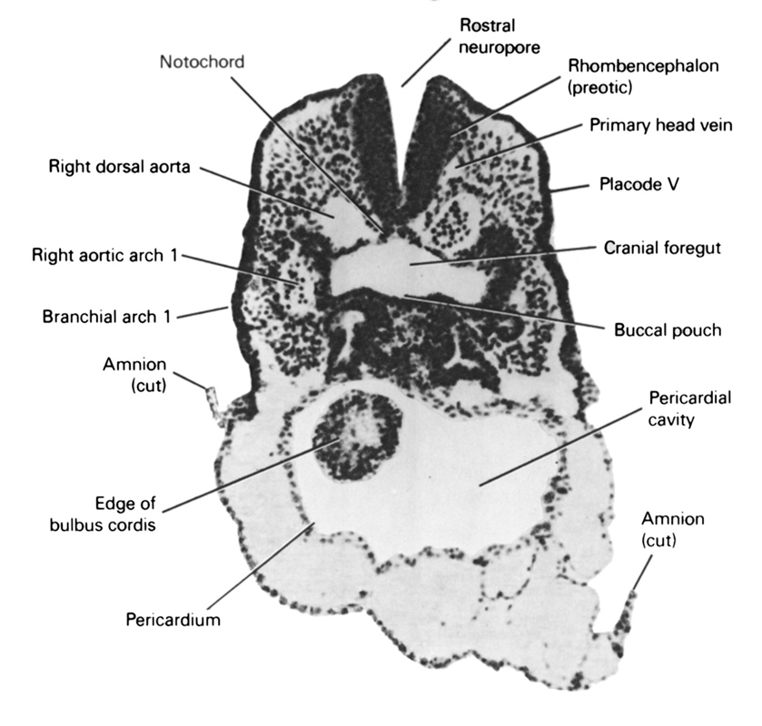 cephalic neuropore, cephalic part of foregut, cut edge of amnion, edge of bulbis cordis, notochord, pericardial cavity, pericardial sac, pharyngeal arch 1, placode 5, primary head vein, rhombencephalon (preotic), right aortic arch 1, right dorsal aorta, vestibule of oral cavity
