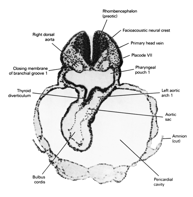 aortic sac, bulbis cordis, closing membrane of pharyngeal groove 1, cut edge of amnion, facio-vestibulocochlear neural crest (CN VII and CN VIII), left aortic arch 1, pericardial cavity, pharyngeal pouch 1, placode 7, primary head vein, rhombencephalon (preotic), right dorsal aorta, thyroid diverticulum