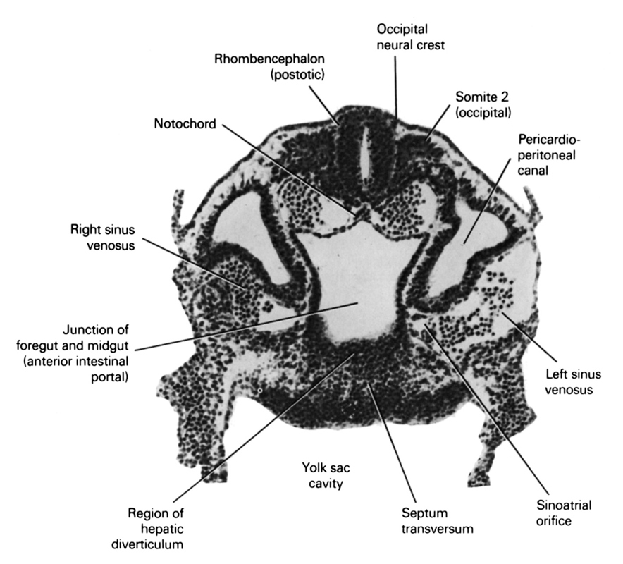 cephalic intestinal portal, junction of foregut and midgut, left sinus venosus, notochord, occipital neural crest, pericardioperitoneal canal (pleural cavity), region of hepatic diverticulum, rhombencephalon (postotic), right horn of sinus venosus, septum transversum, sinu-atrial orifice, somite 2 (O-2), umbilical vesicle cavity