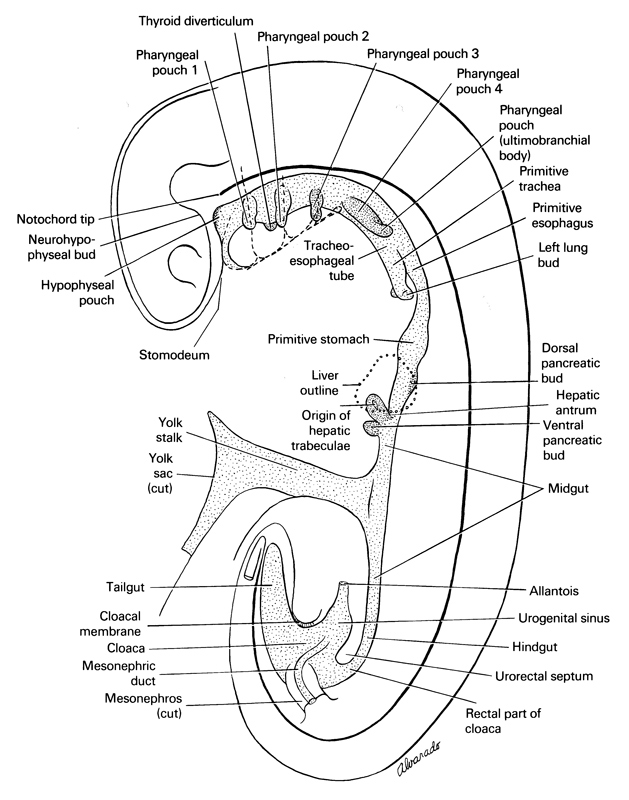 allantois, cloaca, cloacal membrane, cut edge of mesonephros, cut edge of umbilical vesicle, dorsal pancreatic bud, esophagus primordium, hepatic antrum, hindgut, hypophyseal pouch, left lung bud, liver, mesonephric duct, midgut, neurohypophyseal bud, origin of hepatic trabeculae, pharyngeal pouch 1, pharyngeal pouch 2, pharyngeal pouch 3, pharyngeal pouch 4, rectal part of cloaca, stomach primordium, stomodeum, tail gut, thyroid diverticulum, tip of notochord, trachea primordium, tracheo-esophageal tube, ultimopharyngeal pouch, umbilical stalk, urogenital sinus, urorectal septum, ventral pancreatic bud