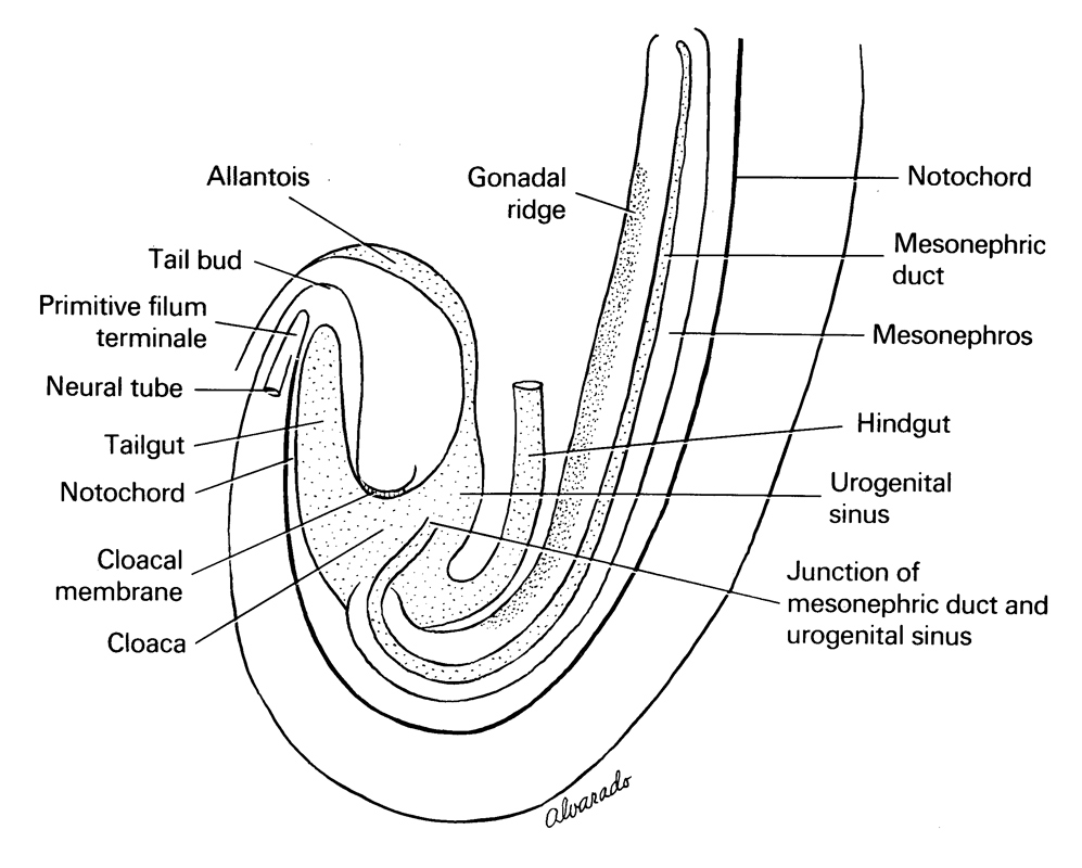 allantois, cloaca, cloacal membrane, gonadal ridge, hindgut, junction of mesonephric duct and urogenital sinus, mesonephric duct, mesonephros, neural tube, notochord, primitive filum terminale, tail bud, tail gut, urogenital sinus