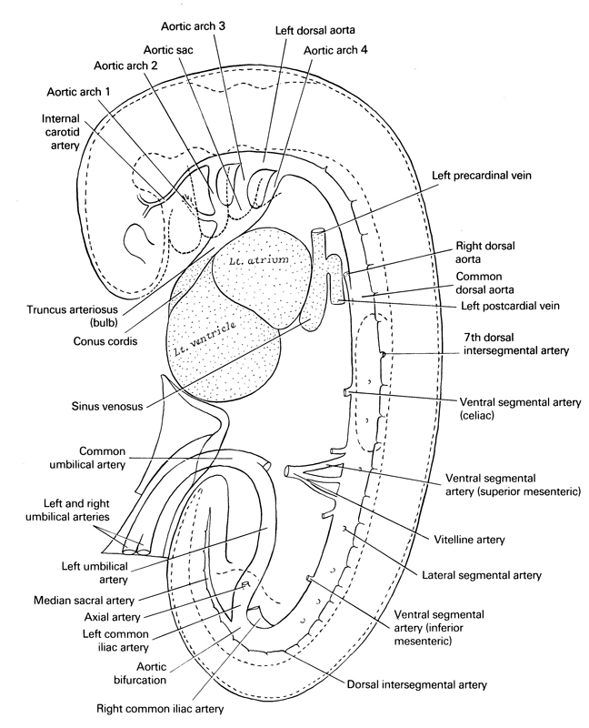 aortic arch 1, aortic arch 2, aortic arch 3, aortic arch 4, aortic bifurcation, aortic sac, axial artery, celiac artery, common dorsal aorta, common umbilical artery, conus cordis, dorsal intersegmental artery, inferior mesenteric artery, internal carotid artery, lateral segmental artery, left atrium, left common iliac artery, left dorsal aorta, left postcardinal vein, left precardinal vein, left umbilical artery, left ventricle, median sacral artery, right common iliac artery, right dorsal aorta, right umbilical artery, seventh dorsal intersegmental artery, sinus venosus, superior mesenteric artery, truncus arteriosus (bulb), vitelline (omphalomesenteric) artery