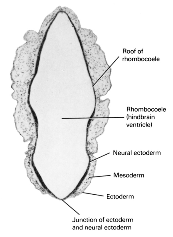 ectoderm, junction of ectoderm and neural ectoderm, mesoderm, neural ectoderm, rhombocoele (hindbrain ventricle), roof of rhombencoel (fourth ventricle)