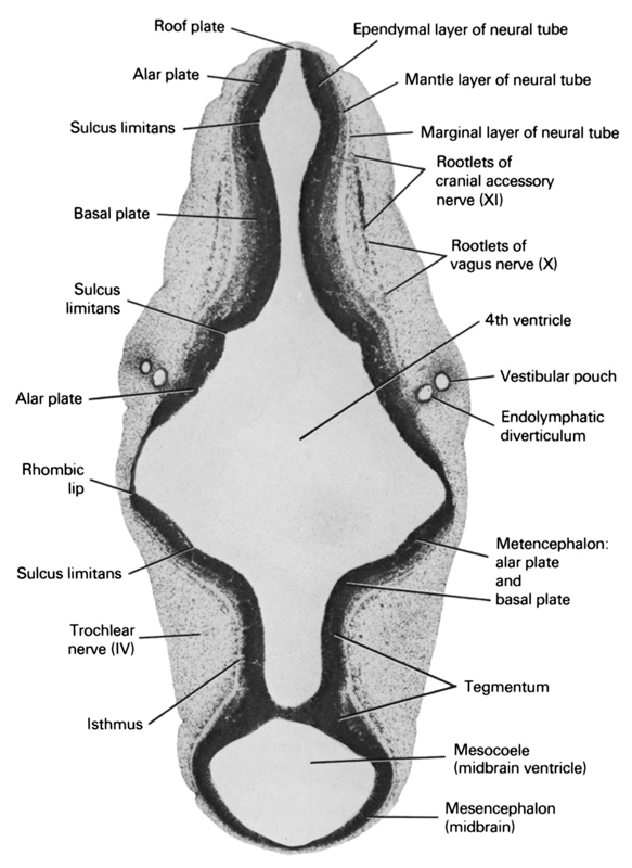 alar plate(s), basal plate, endolymphatic diverticulum, ependymal layer of neural tube, isthmus, mantle layer of neural tube, marginal layer of neural tube, mesencephalon (midbrain), mesocoele (midbrain ventricle), metencephalon: alar plate and basal plate, rhombencoel (fourth ventricle), rhombic lip, roof plate, root of cranial accessory nerve (CN XI), root of vagus nerve (CN X), sulcus limitans, tegmentum, trochlear nerve (CN IV), vestibular pouch