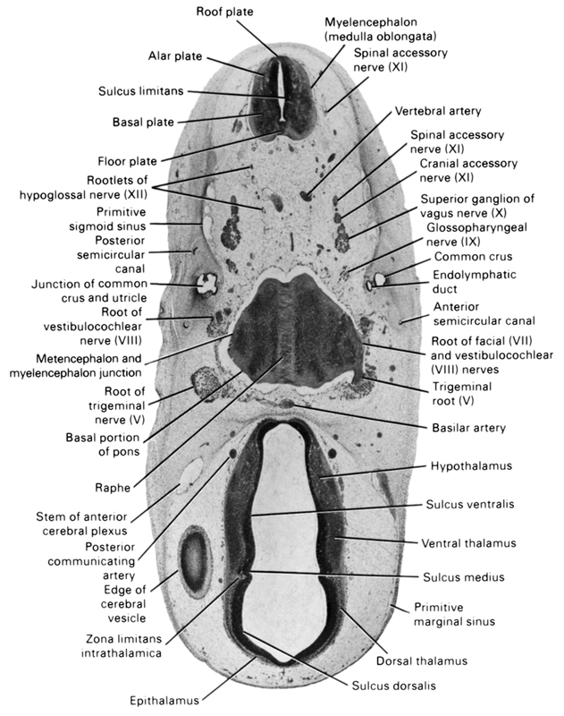 alar plate(s), anterior semicircular canal, basal plate, basal portion of pons, basilar artery, common crus, cranial accessory nerve (CN XI), dorsal thalamus, edge of cerebral vesicle(s), endolymphatic duct, epithalamus, floor plate, glossopharyngeal nerve (CN IX), hypothalamus, junction of common crus and utricle, metencephalon and myelencephalon junction, myelencephalon (medulla oblongata), posterior communicating artery, posterior semicircular canal, primitive marginal sinus, primitive sigmoid sinus, raphe, roof plate, root of facial nerve (CN VII), root of hypoglossal nerve (CN XII), root of trigeminal nerve (CN V), root of vestibulocochlear nerve (CN VIII), spinal accessory nerve (CN XI), stem of anterior cerebral plexus, sulcus dorsalis, sulcus limitans, sulcus medius, sulcus ventralis, superior ganglion of vagus nerve (CN X), trigeminal root (CN V), ventral thalamus, vertebral artery, zona limitans intrathalamica