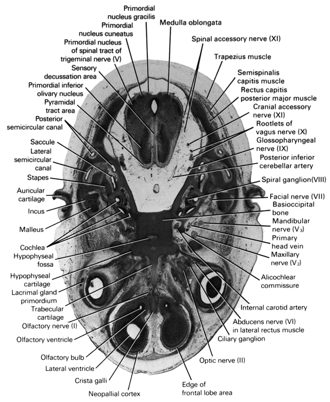 abducens nerve (CN VI) in lateral rectus muscle, alicochlear commissure, auricular cartilage, basi-occipital bone, ciliary ganglion, cochlea, cranial accessory nerve (CN XI), crista galli, edge of frontal lobe area, facial nerve (CN VII), glossopharyngeal nerve (CN IX), hypophysial cartilage, hypophysial fossa, incus, internal carotid artery, lacrimal gland primordium, lateral semicircular canal, lateral ventricle, malleus, mandibular nerve (CN V₃), maxillary nerve (CN V₂), medulla oblongata, neopallial cortex, olfactory bulb, olfactory nerve (CN I), olfactory ventricle, optic nerve (CN II), posterior inferior cerebellar artery, posterior semicircular canal, primary head vein, primordial inferior olivary nucleus, primordial nucleus cuneatus, primordial nucleus gracilis, primordial nucleus of spinal tract of trigeminal nerve (CN V), pyramidal tract area, rectus capitis posterior major muscle, root of vagus nerve (CN X), saccule, semispinalis capitis muscle, sensory decussation area, spinal accessory nerve (CN XI), spiral ganglion (CN VIII), stapes, trabecular cartilage, trapezius muscle