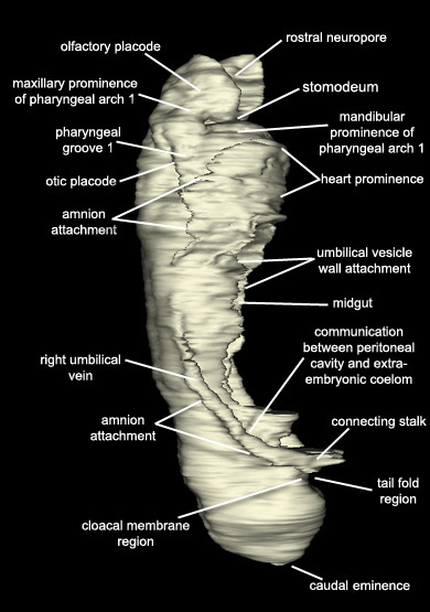 Embryo - Right Lateral