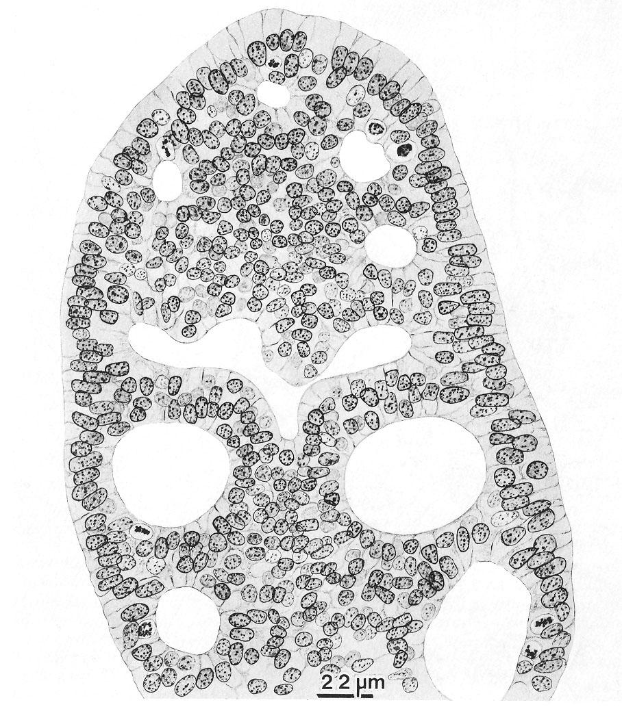 Cross section of the duodenal epithelium