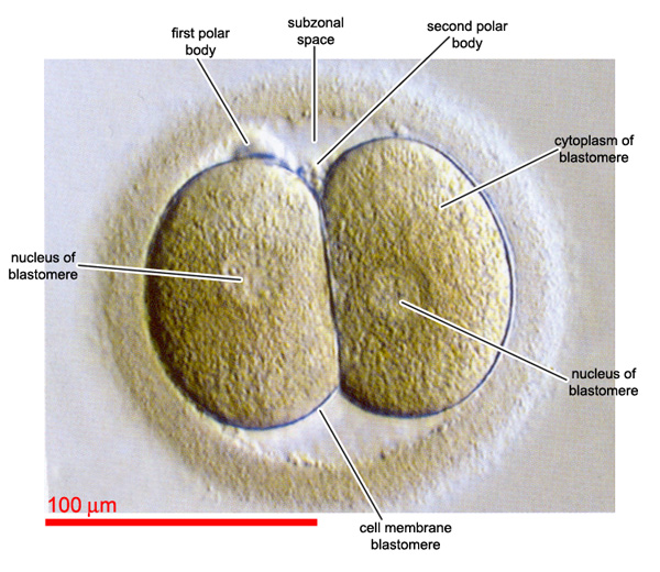 Embryo after first cleavage is completed
