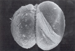 2-cell embryo