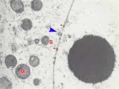 Nuclear organization of a blastomere in a 4-cell embryo