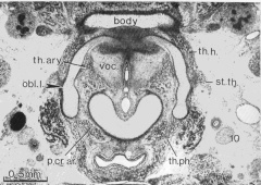 The body of the hyoid, thyroid laminae, and cricoid cartilage