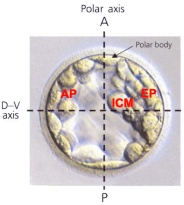 Axes of the blastocyst
