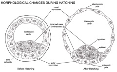Morphological changes during hatching