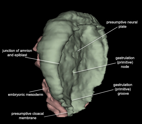 Embryo - Lateral