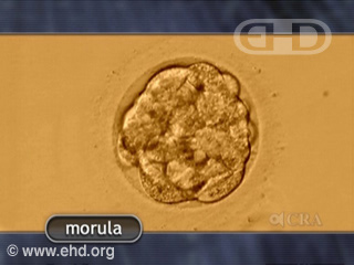 Play Movie - The Morula and Blastocyst