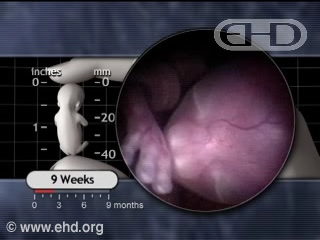 Play Movie - The Fetal Period