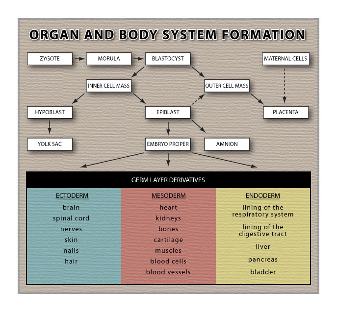 Organ and Body System Formation