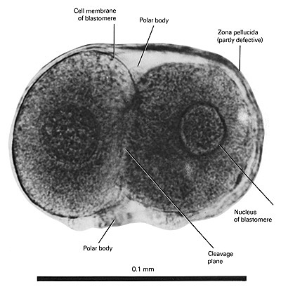 Open PDF version of FIG 1.6, A Two-Cell Human Embryo (1.5 Days)