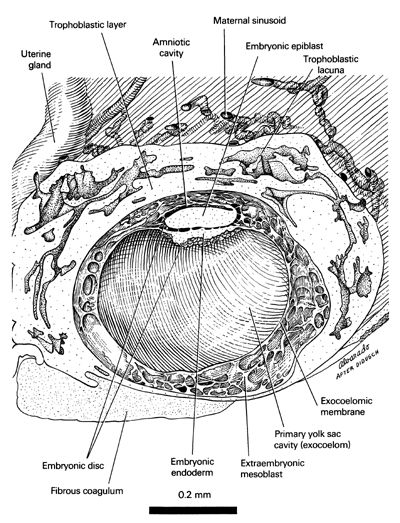 Open PDF version of FIG 2-3, A reconstruction of half of the 12-day embryo showing its internal features.