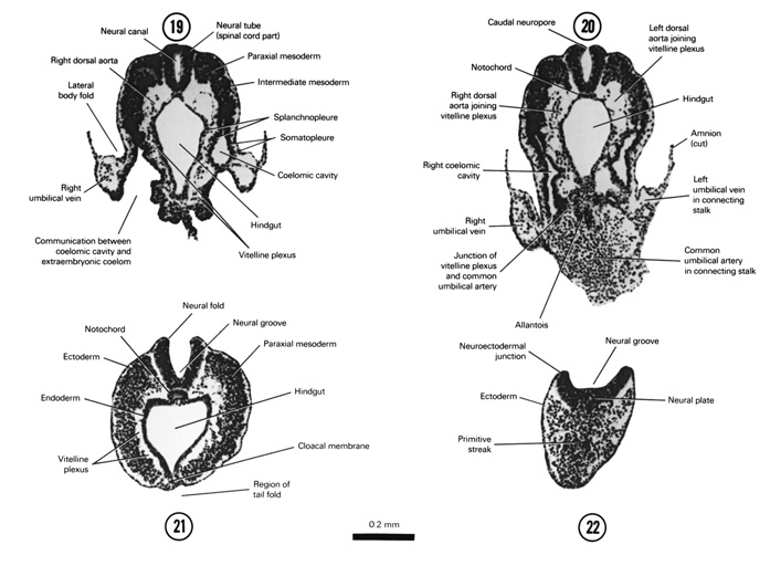 Open PDF version of FIG 4-10, A section through the caudal part of the neural tube. A section through the connecting stalk and the junction of the allantois with the floor of the hindgut. A section through the embryo caudal to the tail fold at the level of the cloacal membrane. A section through the caudal tip of the embryo.