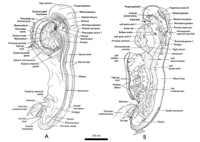 Open PDF version of FIG 4-2, Midsagittal view of the 10-somite embryo showing the relations of the neural tube, notochord, gut and pericardial sac. Left lateral view of the 10-somite embryo showing the cardiovascular system.
