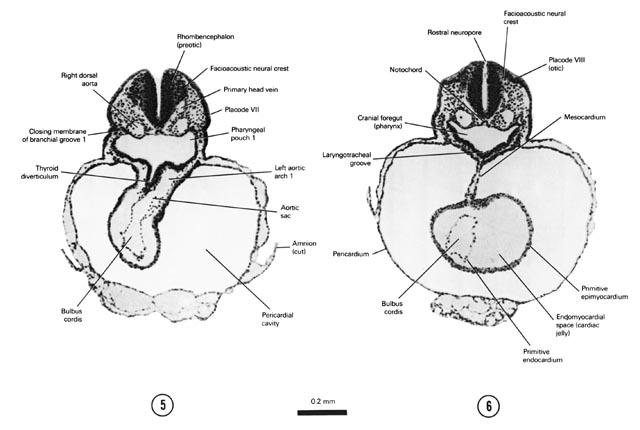 Open PDF version of FIG 4-5, A section through the thyroid diverticulum and primitive bulbus cordis that is to the right of the midline. A section through placode VIII (otic) and cranial part of the primitive ventricle of the heart.