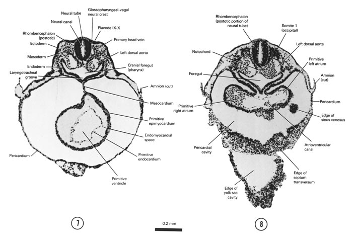 Open PDF version of FIG 4-6, A section through the middle of the primitive ventricle of the heart that is to the left of the midline. A section through somite 1, the primitive atria of the heart and the cranial edge of the yolk sac cavity.