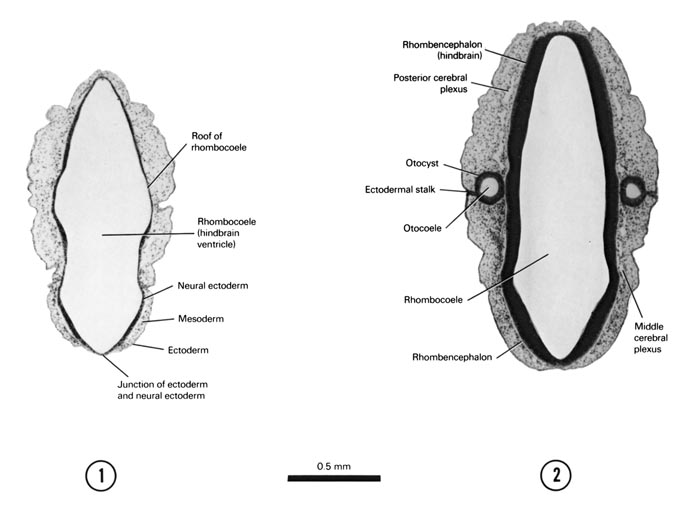 Open PDF version of FIG 5-6, A section through the roof of the rhombencephalon. A section through the thicker, dorsal part of the rhombencephalon and the dorsal part of the otocyst.