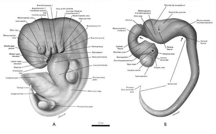 Open PDF version of FIG 6.4, External Features, Nervous System, of the 10mm Embryo