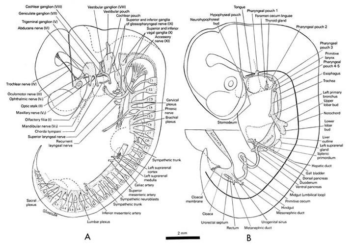 Open PDF version of FIG 6-2, peripheral nervous system, alimentary,  and respiratory systems of the 10-mm embryo.