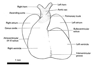 Open PDF version of FIG 6-4, Heart of the 10-mm embryo.