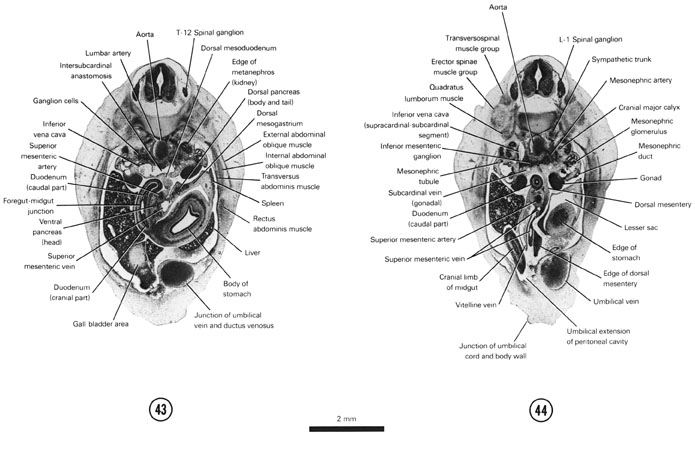 Open PDF version of FIG 7-27, A section through the cranial edge of the metanephros. A section through the L-1 spinal ganglion and the cranial edge of the junction of the umbilical cord and the ventral body wall.