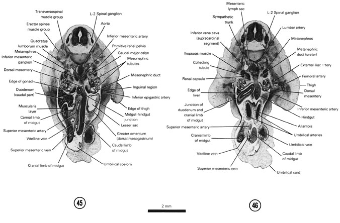 Open PDF version of FIG 7-28, A section through the L-2 spinal ganglion and edge of the thigh. A section through the cranial edge of the umbilical arteries and allantois.