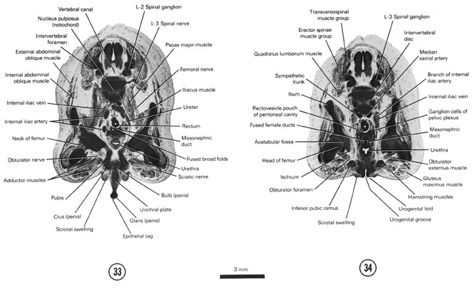 Open PDF version of FIG 8-19, A section through the bulb and crura of the penis and L-2 spinal ganglion. A section through the urogenital groove and fold and L-3 spinal ganglion.