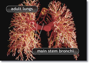 Frontal view of the adult lungs, main stem bronchi, and bronchial tree.