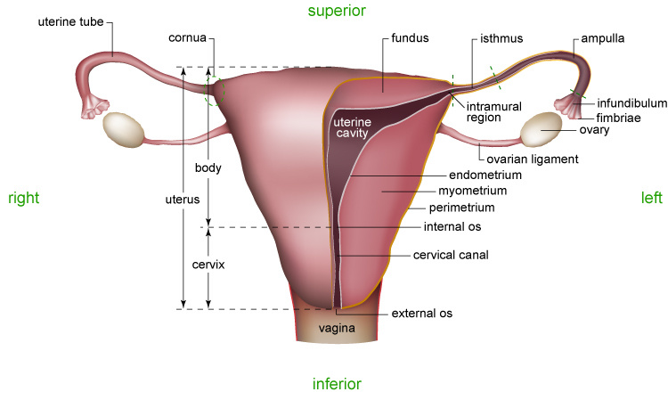 Figure 02 Female Reproductive System Cutaway View Advanced