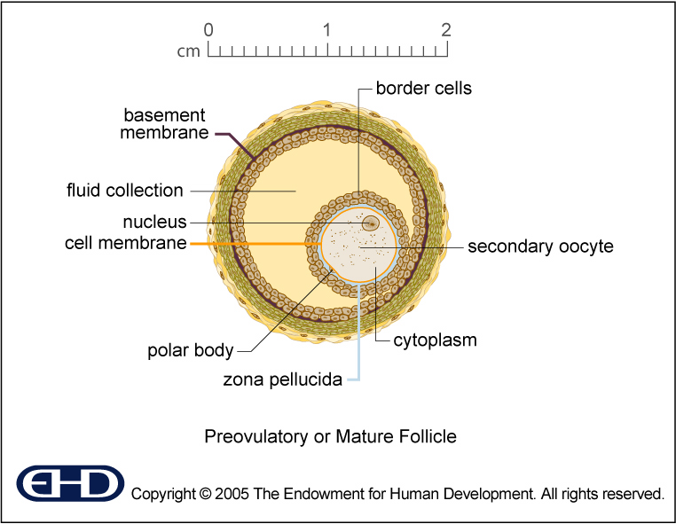 figure 0 7 mature follicle basic