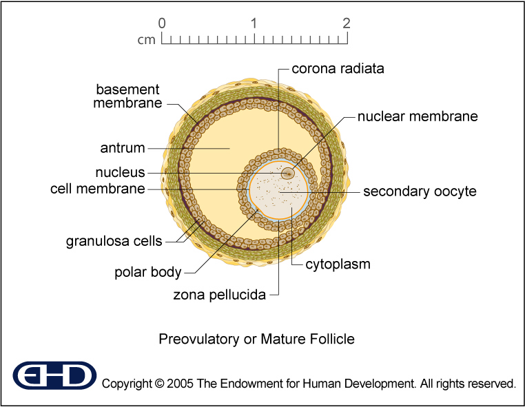 Mature Follicle