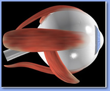 optic nerves, eye muscles