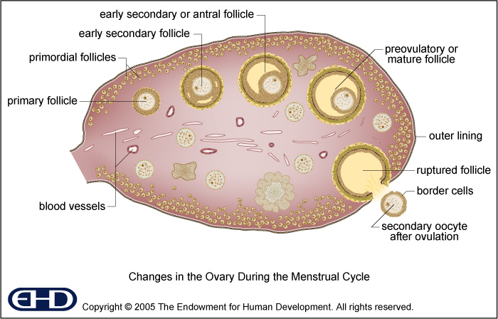 Figure 04 Ovary Basic
